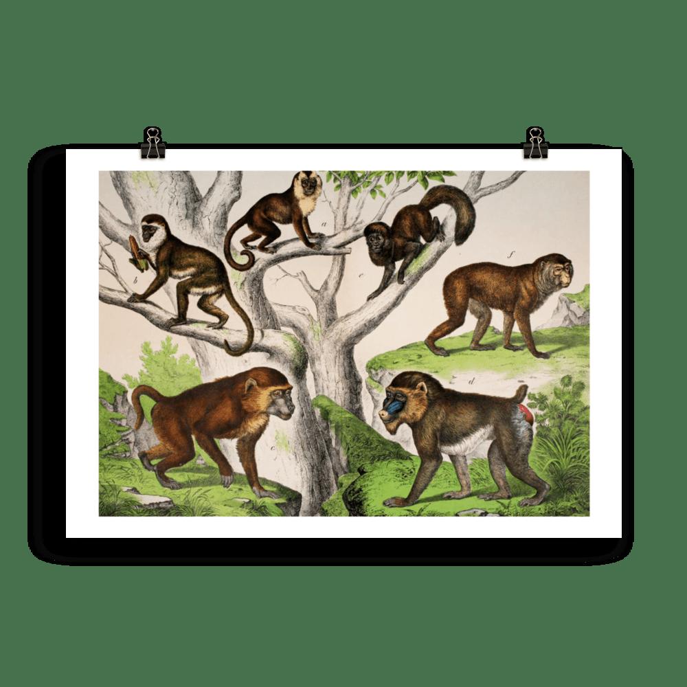 laminas-animales-cuadros-monos