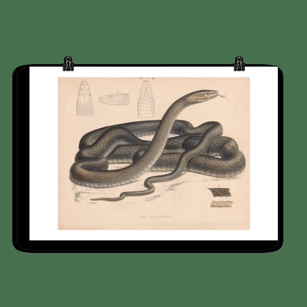 laminas-reptiles-cuadros-serpientes