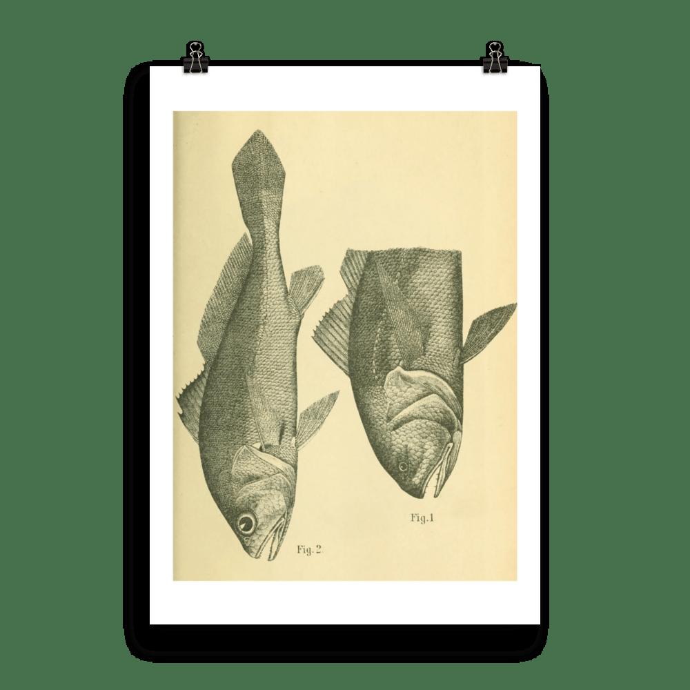 laminas-peces-para-enmarcar-cinco